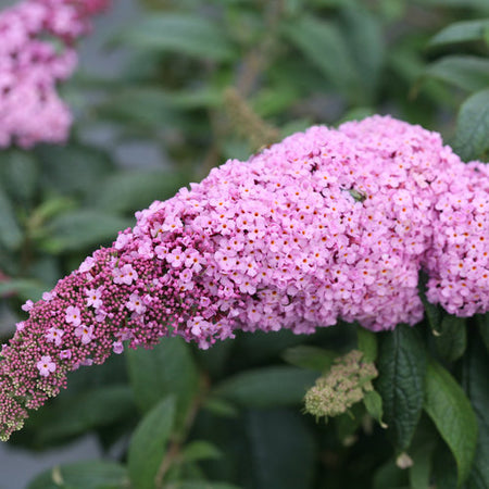 Pink Butterfly Bush | Buddleia 'Pugster Pink®'