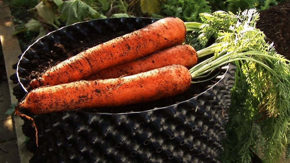 Air-Pot Extra Large Carrots