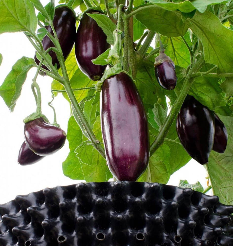 Air-Pot Garden Large Eggplant
