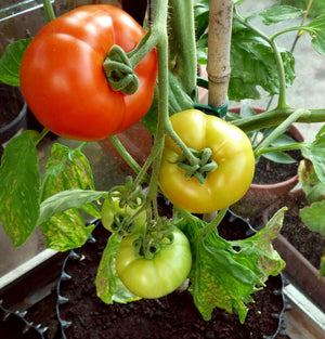 Air-Pot Garden Large Tomato Close
