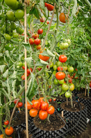 Load image into Gallery viewer, Air-Pot Garden Large Tomato