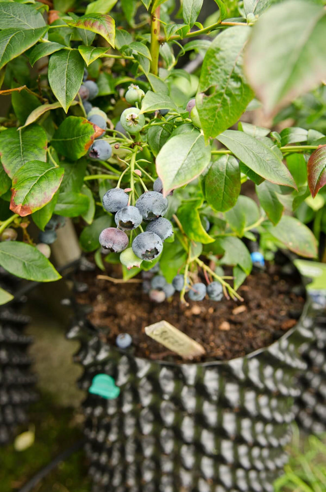 Air-Pot Garden Small Blueberry