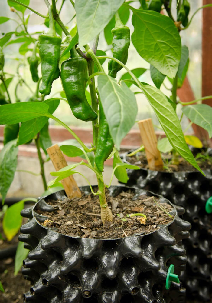 Air-Pot Garden Small Chilli
