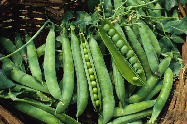 ECOLOGICA FARM, ENGLISH PEAS, GREEN ARROW, 3 INCH COW POT