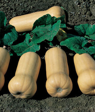 ECOLOGICA FARM, WINTER SQUASH, WALTHAM BUTTERNUT, 3 INCH COW POT