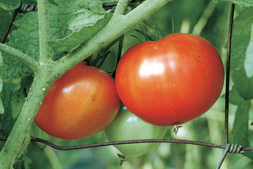 STERLING FARMS, SEEDLING, TOMATO, BEEFSTEAK, 4 INCH POT