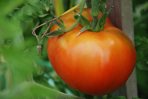 STERLING FARMS, SEEDLING, TOMATO, MOSKOVITZ, 4 INCH POT