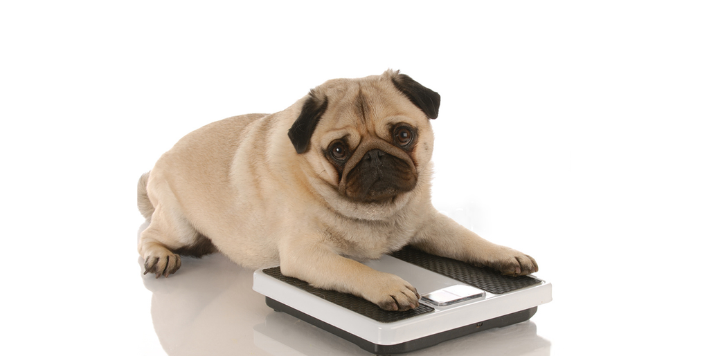 Overweight Pets and Weight Loss