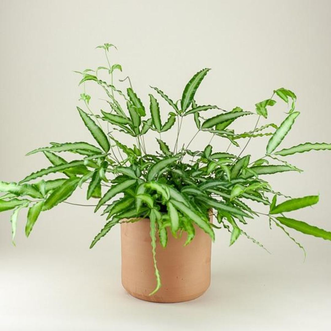3.5 Ribbon Fern