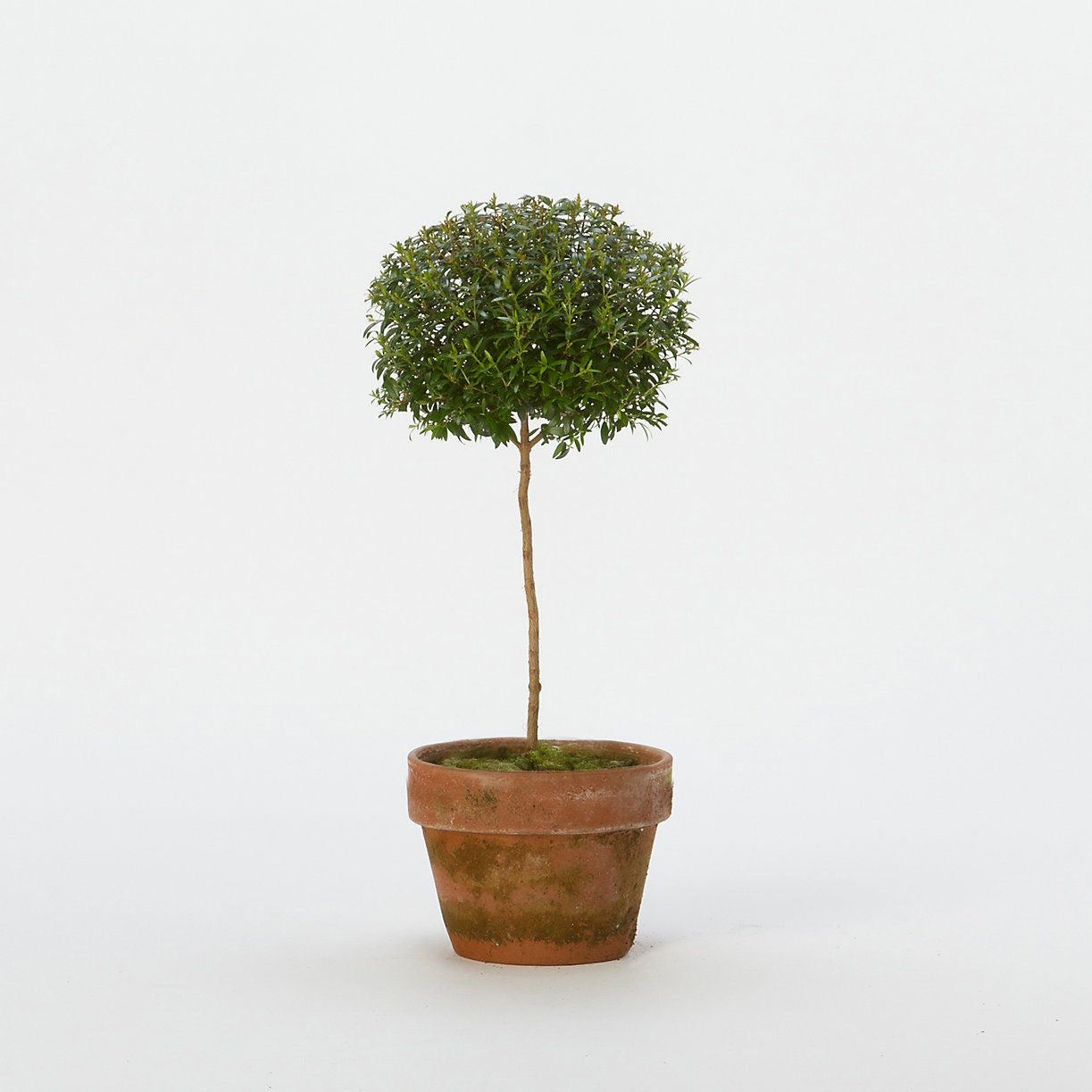 Myrtle Topiary Candela Co