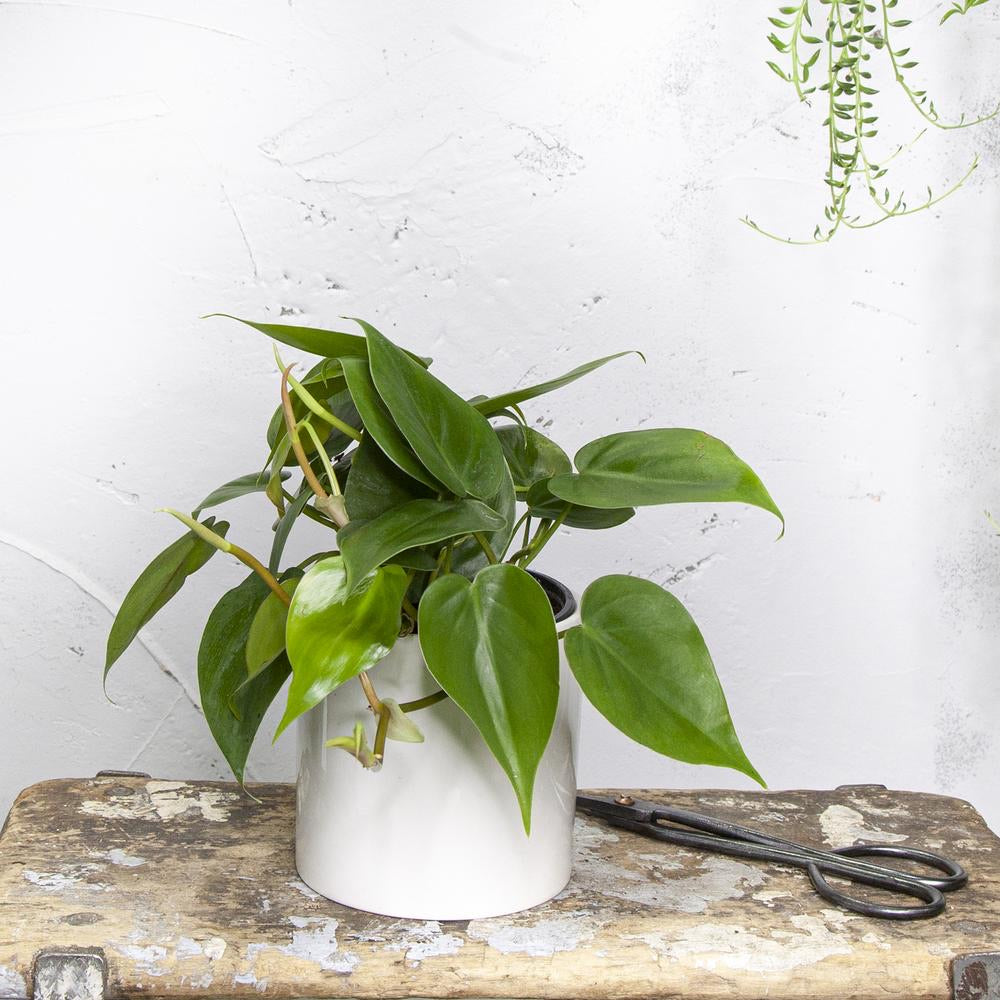Sm Philodendron