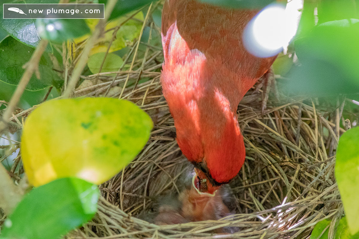 male cardinal feeding one-day-old baby cardinals