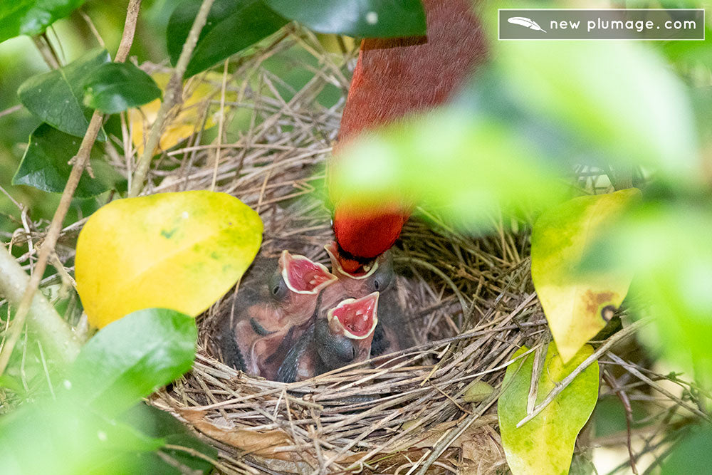 Day 4 cardinal babies getting fed