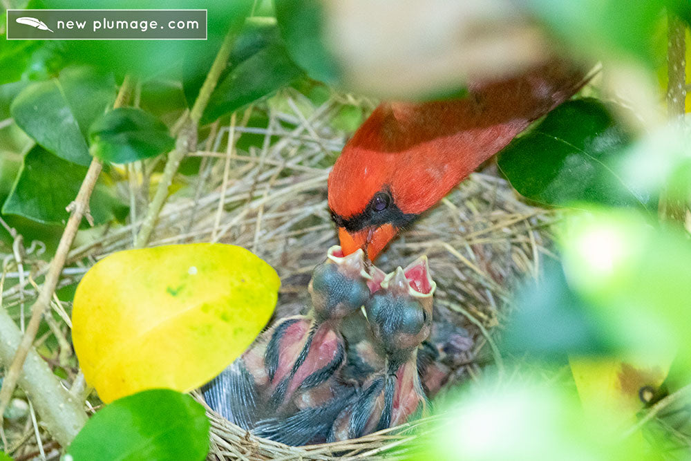 6 day old cardinal nestlings