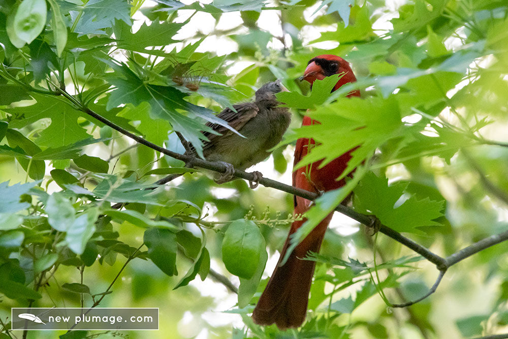 cardinal fledgling getting fed by adult