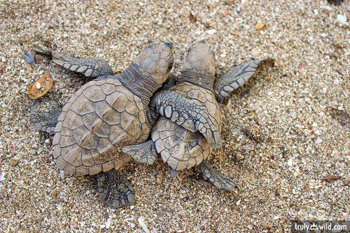 baby sea turtle pictures