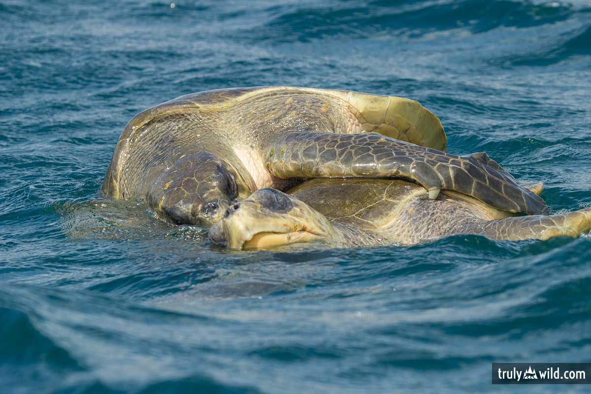 olive Ridley sea turtles mating