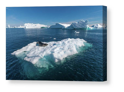 Leopard seal on floating ice canvas
