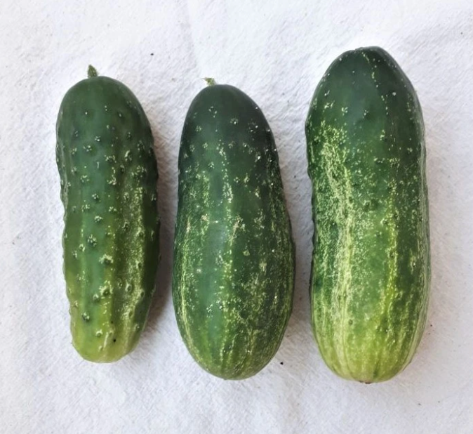 Homemade Pickles Pickling Cucumber