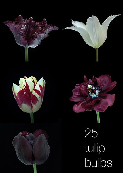 Tulip bulbs photography photograph ruber