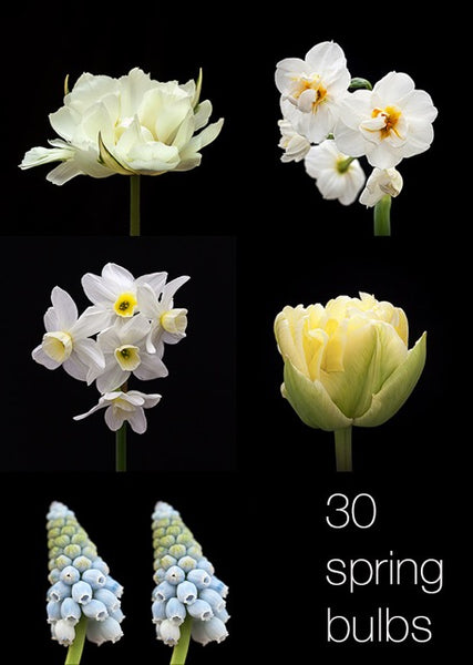 Spring bulbs photographer Sabina Presteigne