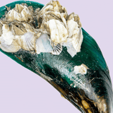 Green Lipped Mussel Shell_Gourmate Pet Treat Co.