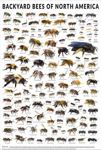 Backyard bees of North America (Poster)