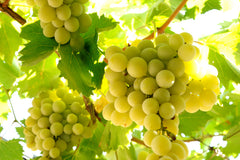 our grape seed oil is made from delicious vineyard grapes