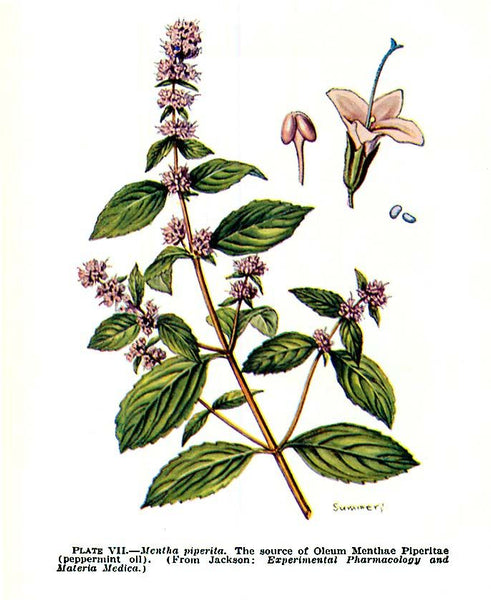 Botanical Print Peppermint
