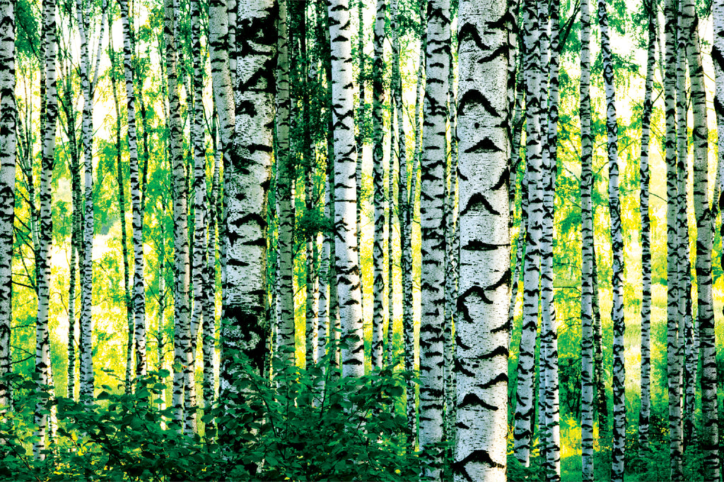 Birch Grove - Wall Mural