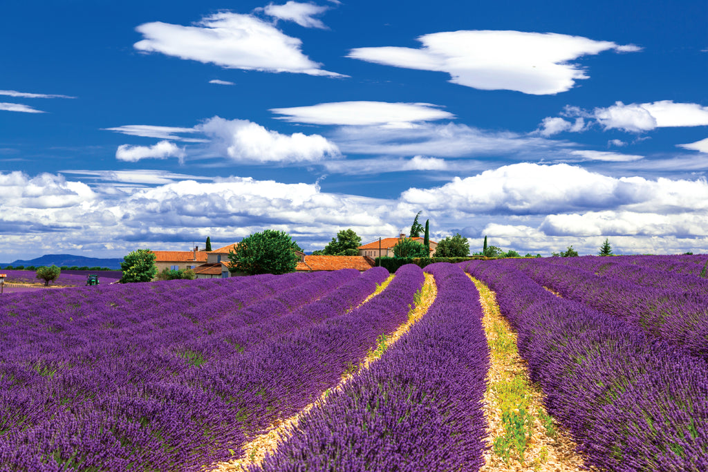 Lavender Fields - Wall Mural