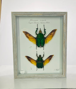 African Flower Beetles 8x10 Gray #296A Framed Art