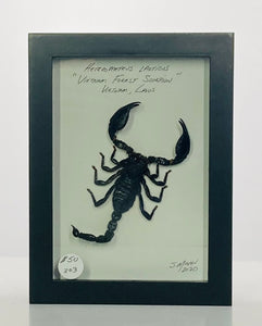 Scorpion 5x7 Black #303 Framed Art