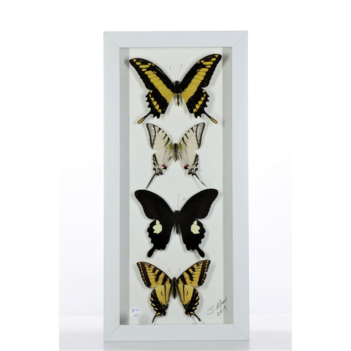 White/Gray Butterfly Mix 6x14 White #22 Framed Art - Insecta Etcetera