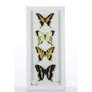 White/Gray Butterfly Mix 6x14 White #23 Framed Art - Insecta Etcetera