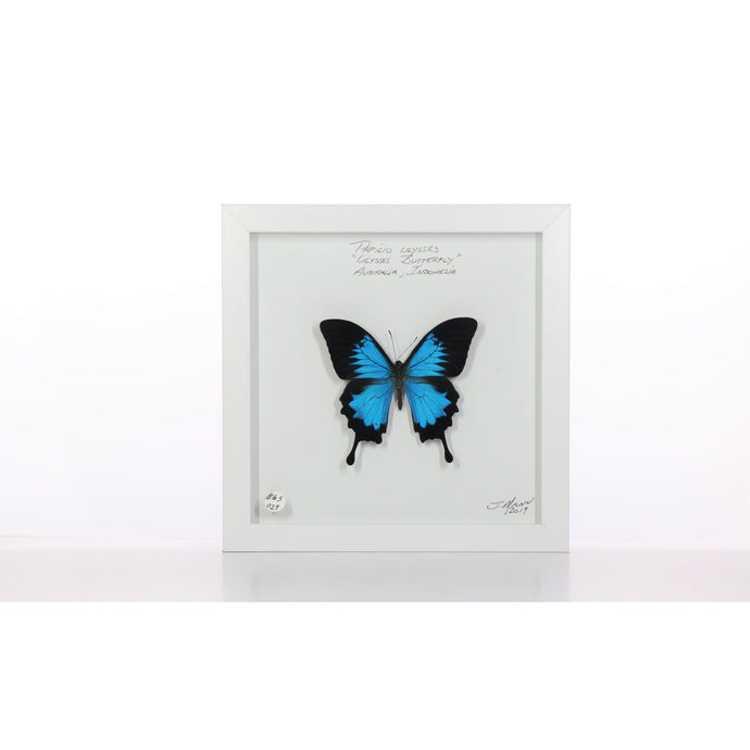 Ulysses Butterfly 8x8 White #29 Framed Art - Insecta Etcetera