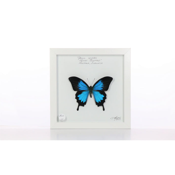 Ulysses Butterfly 8x8 White #30 Framed Art - Insecta Etcetera