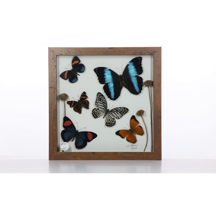 Butterfly Mix 9x9 Brown #35 Framed Art - Insecta Etcetera