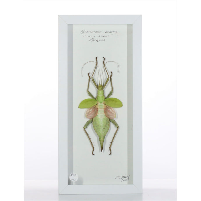 Jungle Nymph 6x14 Black #40 Framed Art - Insecta Etcetera