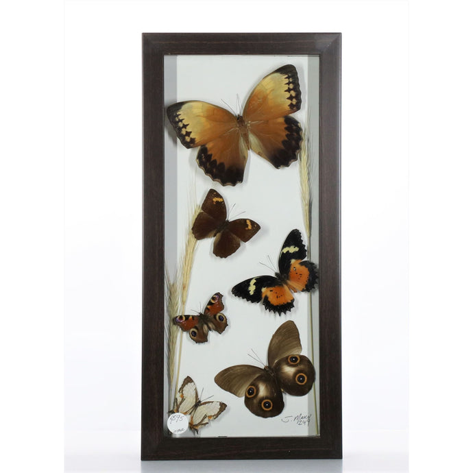 Brown Butterfly Mix 6x14 Brown #44 Framed Art - Insecta Etcetera