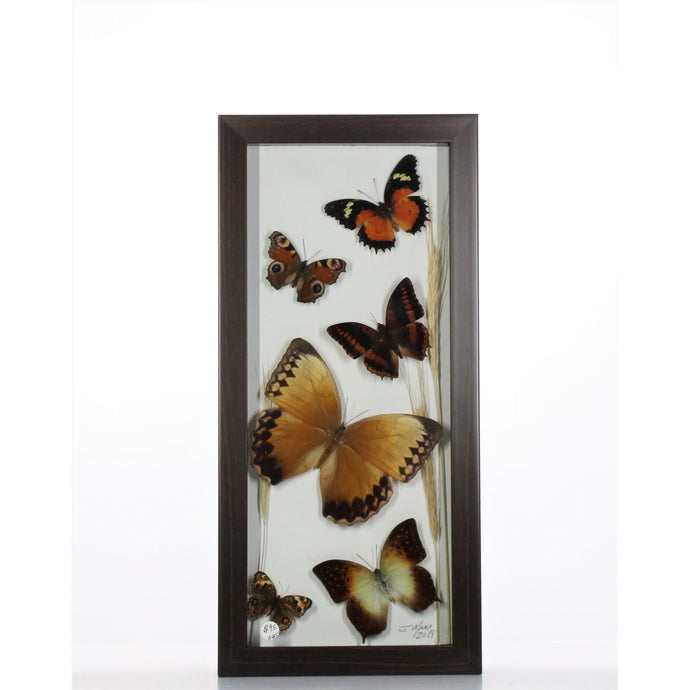 Brown Butterfly Mix 6x14 Brown #45 Framed Art - Insecta Etcetera