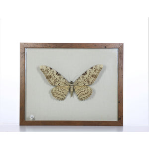 White Witch Moth 11x14 Brown #46 Framed Art - Insecta Etcetera