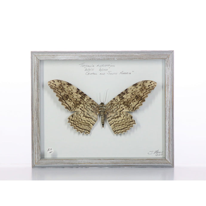 White Witch Moth 10x13 Gray #47 Framed Art - Insecta Etcetera