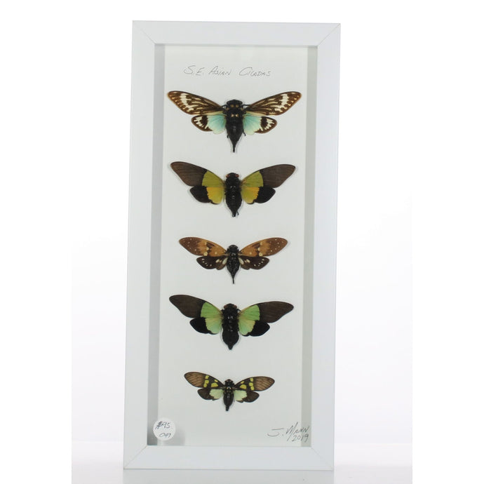Asian Cicadas 6x14 White #49 Framed Art - Insecta Etcetera