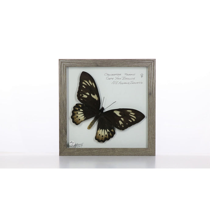 Cape York Birdwing Butterfly 8x8 Gray #80 Framed Art - Insecta Etcetera