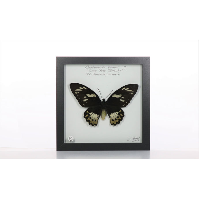 Cape York Birdwing Butterfly 8x8 Black #81 Framed Art - Insecta Etcetera