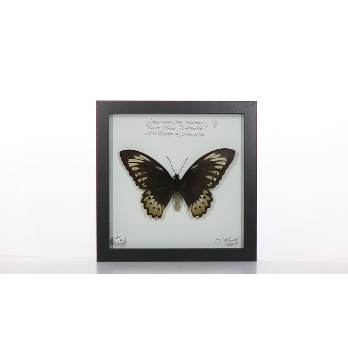 Cape York Birdwing Butterfly 8x8 Black #82 Framed Art - Insecta Etcetera