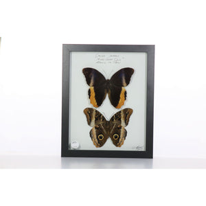 Owl Butterfly Pair 8x10 Black #83 Framed Art - Insecta Etcetera