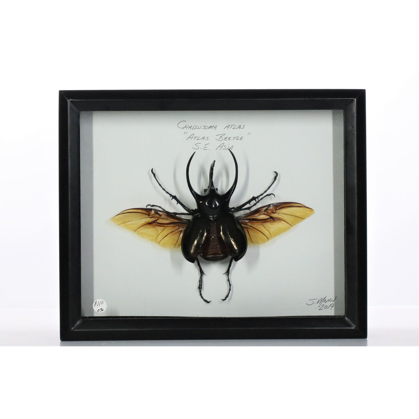 Atlas Beetle 8x10 Black #96 Framed Art - Insecta Etcetera