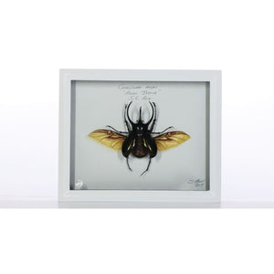 Atlas Beetle 8x10 White #100 Framed Art - Insecta Etcetera